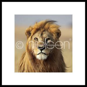 """Inramad bild """"Lion"""" med aluminiumram C2"""