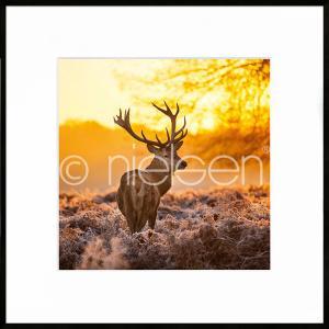 """Inramad bild """"Cervine Sunset"""" med aluminiumram C2"""