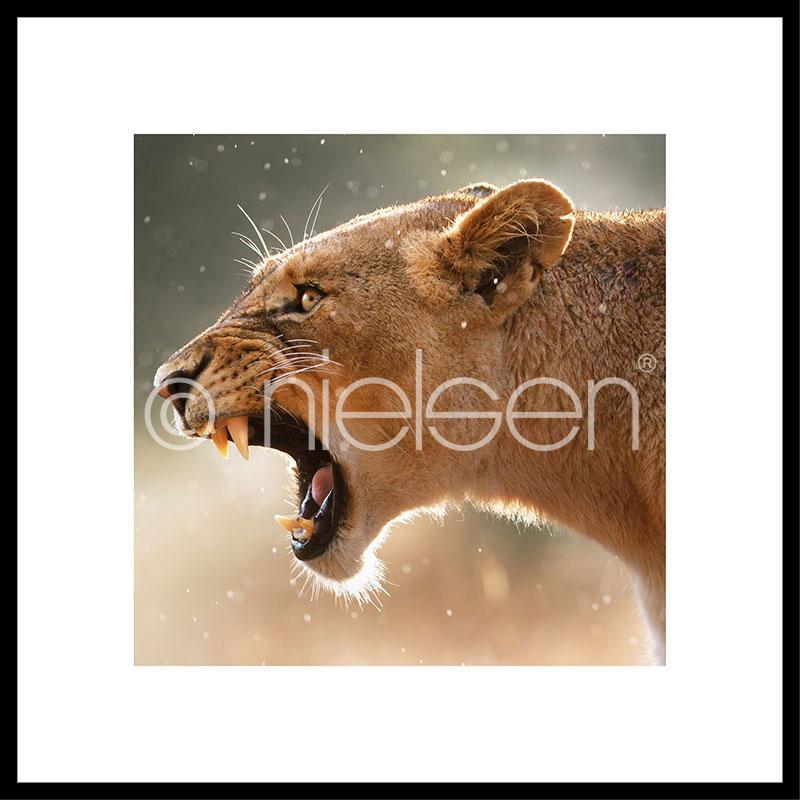 "Inramad bild ""Lioness"" med aluminiumram C2"
