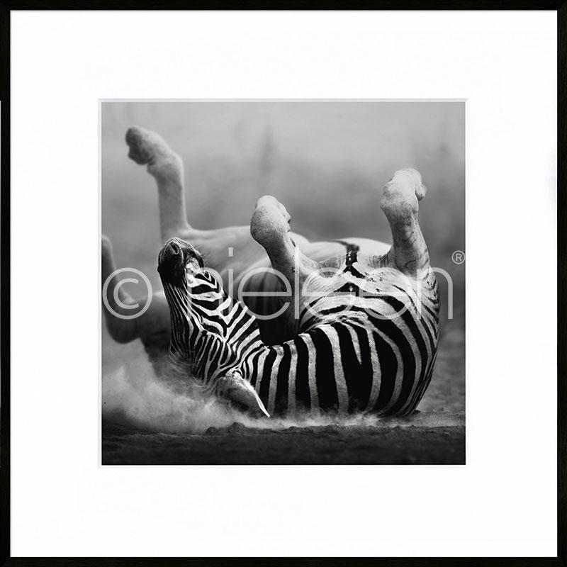 """Inramad bild """"Zebra lying"""" med aluminiumram C2"""