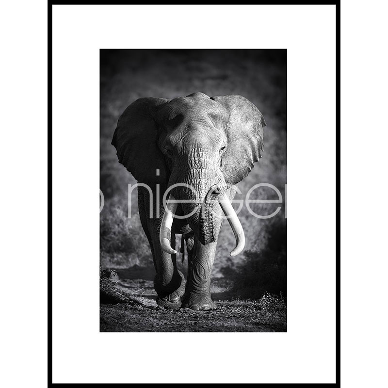 "Inramad bild ""Elephant black and white"" med aluminiumram C2"