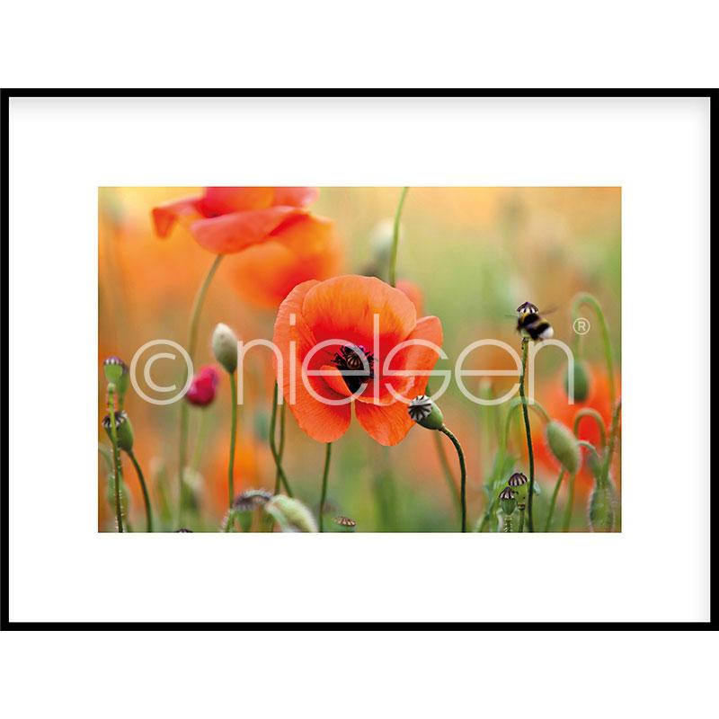 """Inramad bild """"Poppy Flower"""" med aluminiumram C2"""