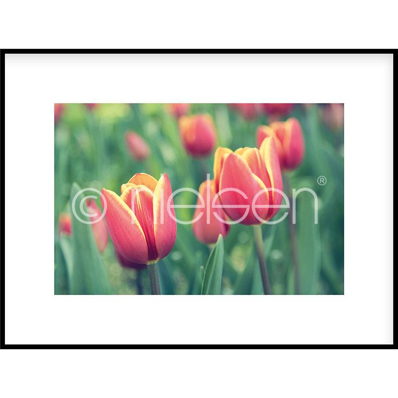 "Inramad bild ""Tulips"" med aluminiumram C2"